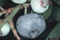 Image:Stink bug damage blueberries FeatureSize.jpg