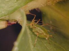 closeup of an aphid
